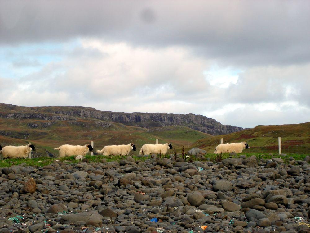 Schafe in der Bucht bei Talisker