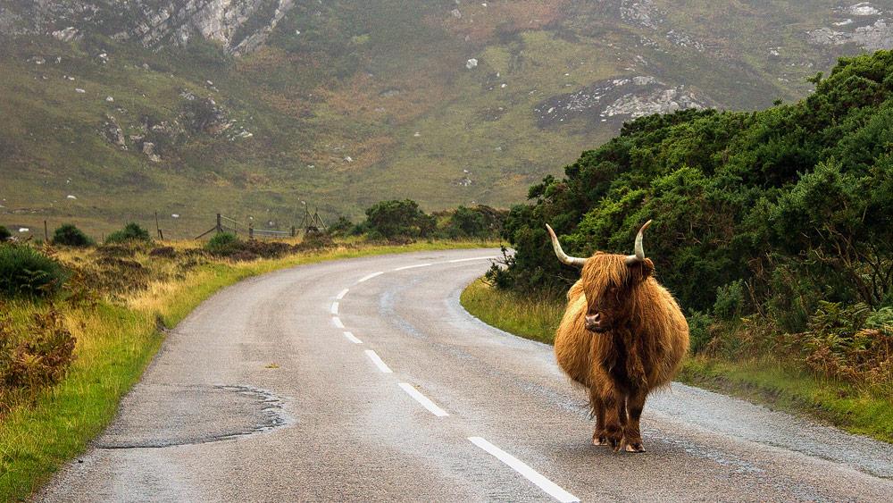 Straße mit Highlandrind