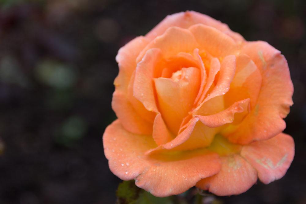 Eine Rose im Garten der Castle of Mey