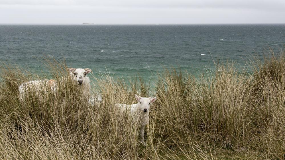 Schafe auf Berneray