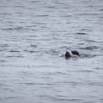 Spielende Seehunde