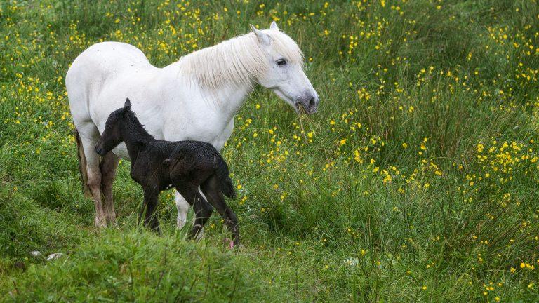 Eriskay Pony: Stute und Fohlen