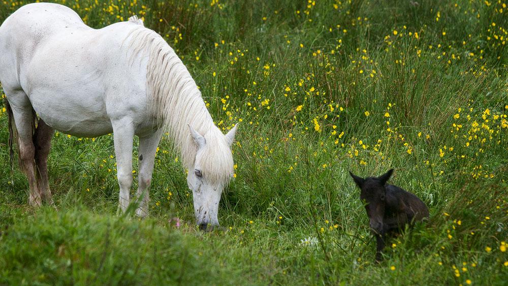 Eriskay Pony: Stute mit Fohlen