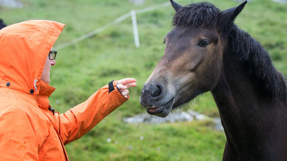Eriskay Pony zutraulich