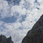 Boreray Gannets