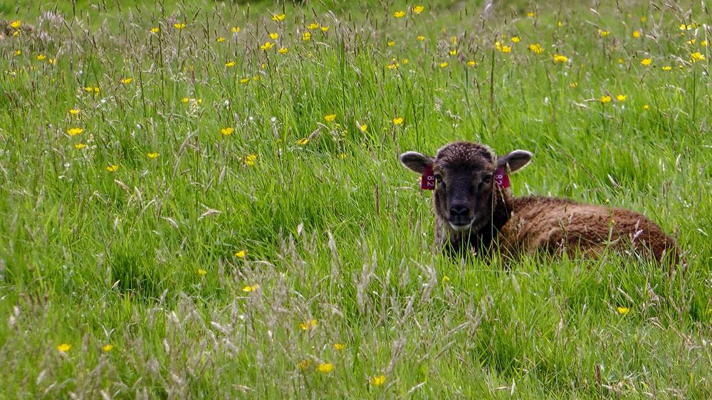 Schaf auf Hirta