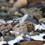 Eier Oyster Catcher am Loch Slapin
