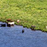 Rinder am Loch Tummel