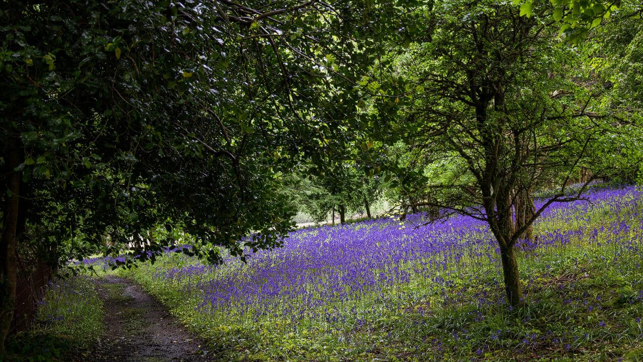 Bluebells im Wald