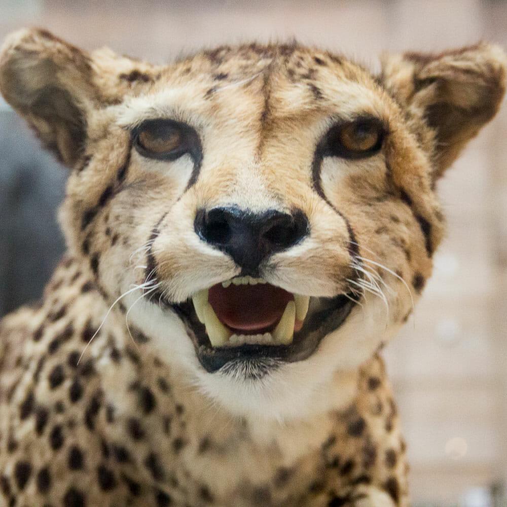 Gepard im Kelvingrove Museum