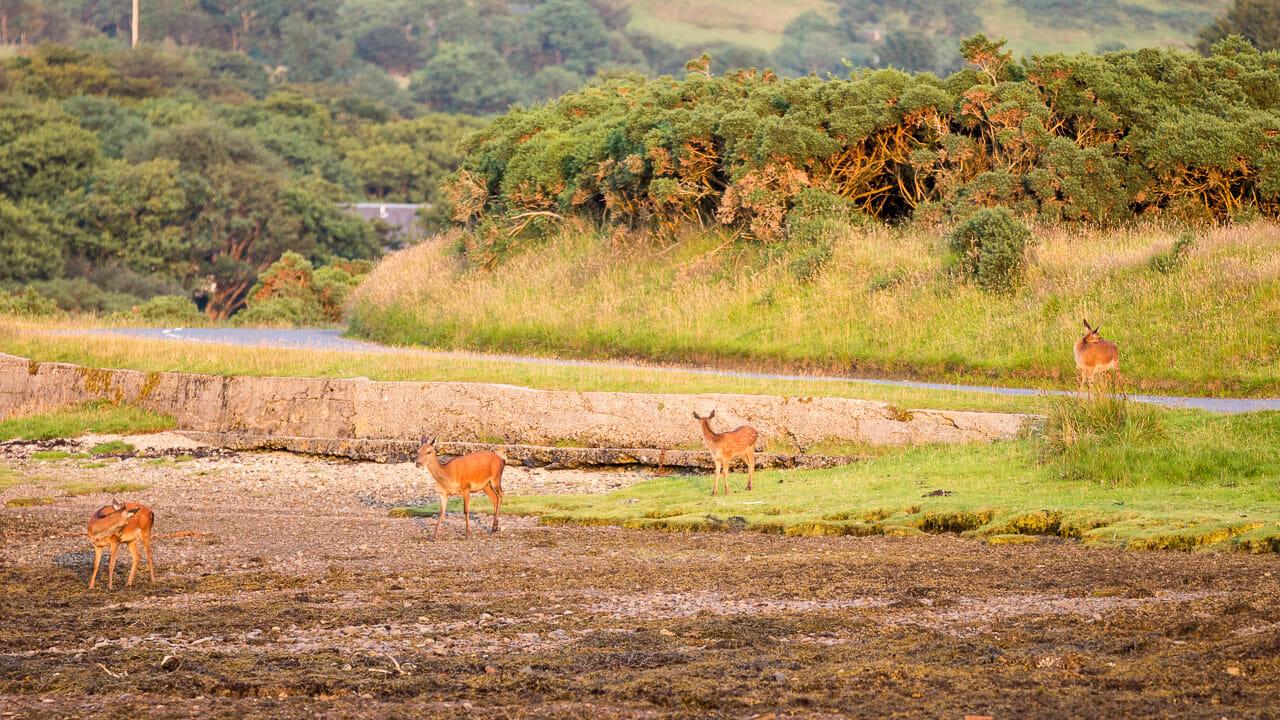 Hirsche kommen vom Berg über die Straße in die Bucht.