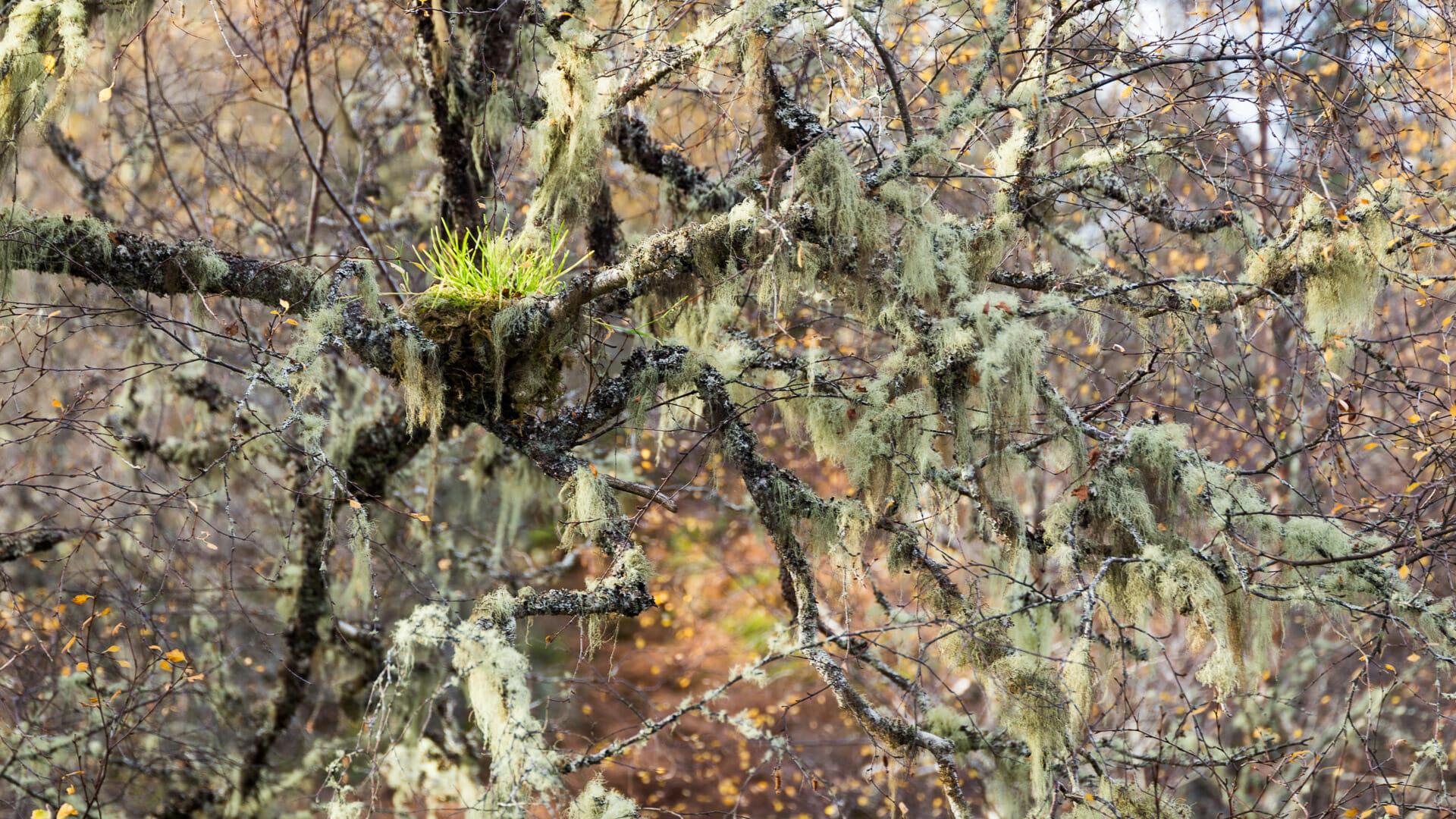 Vogelnest im Wald von Glen Affric