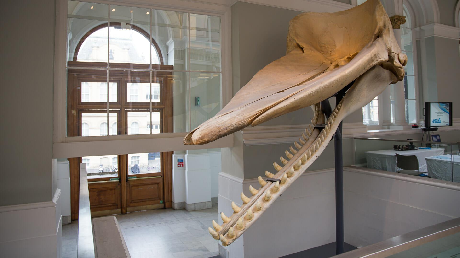 Kopf des Wals Moby