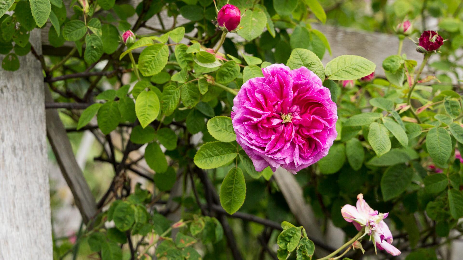 Rose im Culross Garten