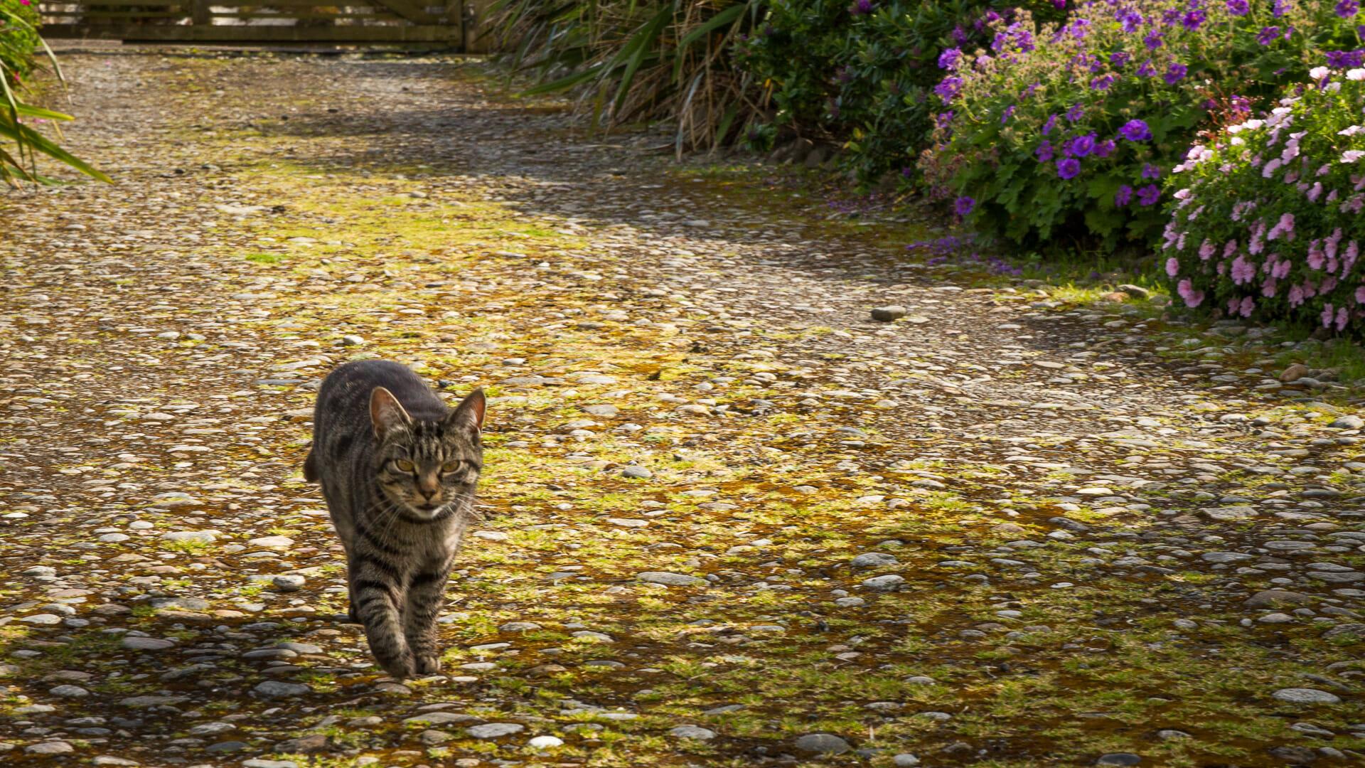 Eine Katze, vermutlich Tabatha, im Garradh Mòr - (Foto: Martin Goldmann)