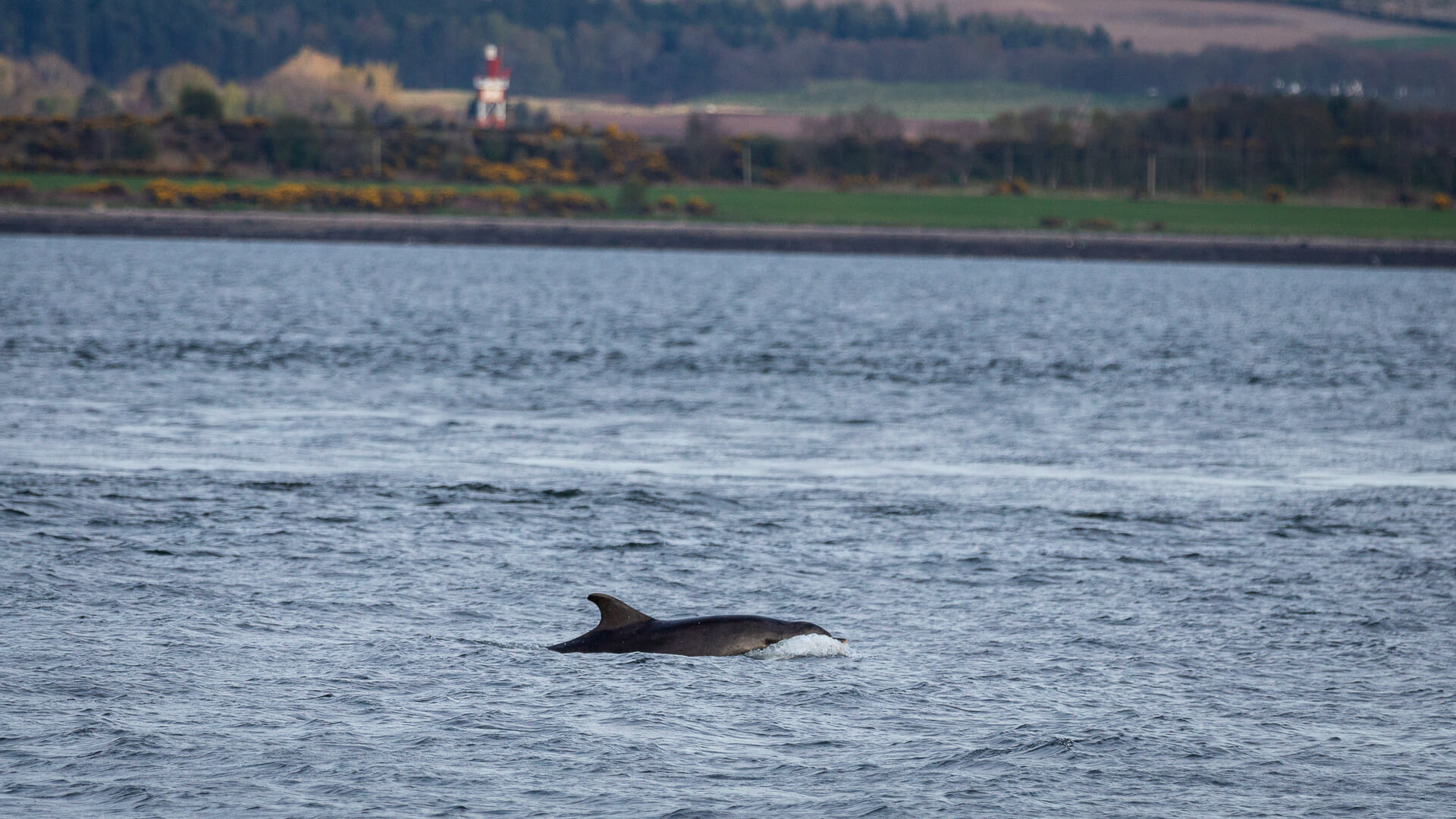 Delfin am Chanonry Point