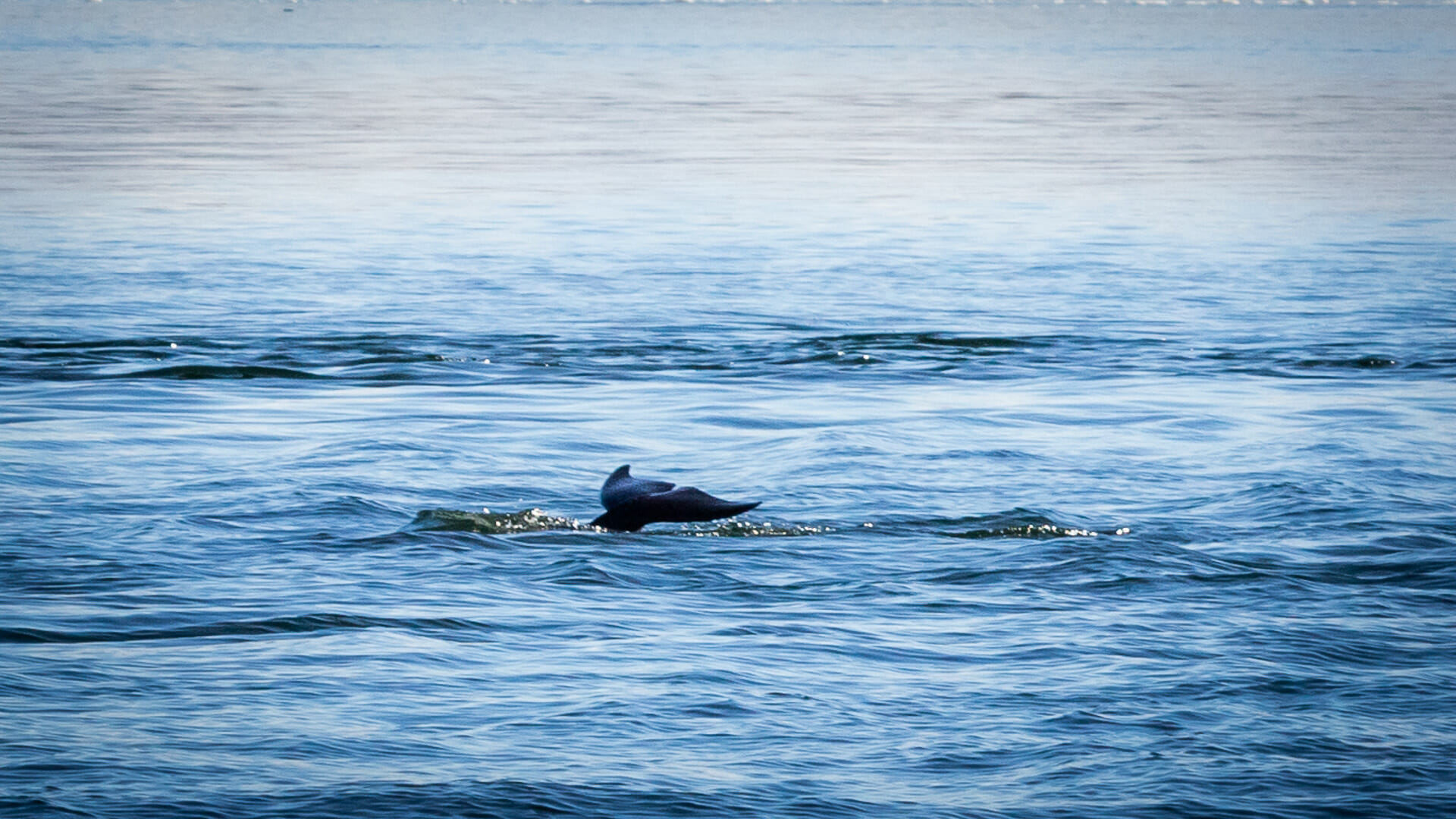 Delfinfluke