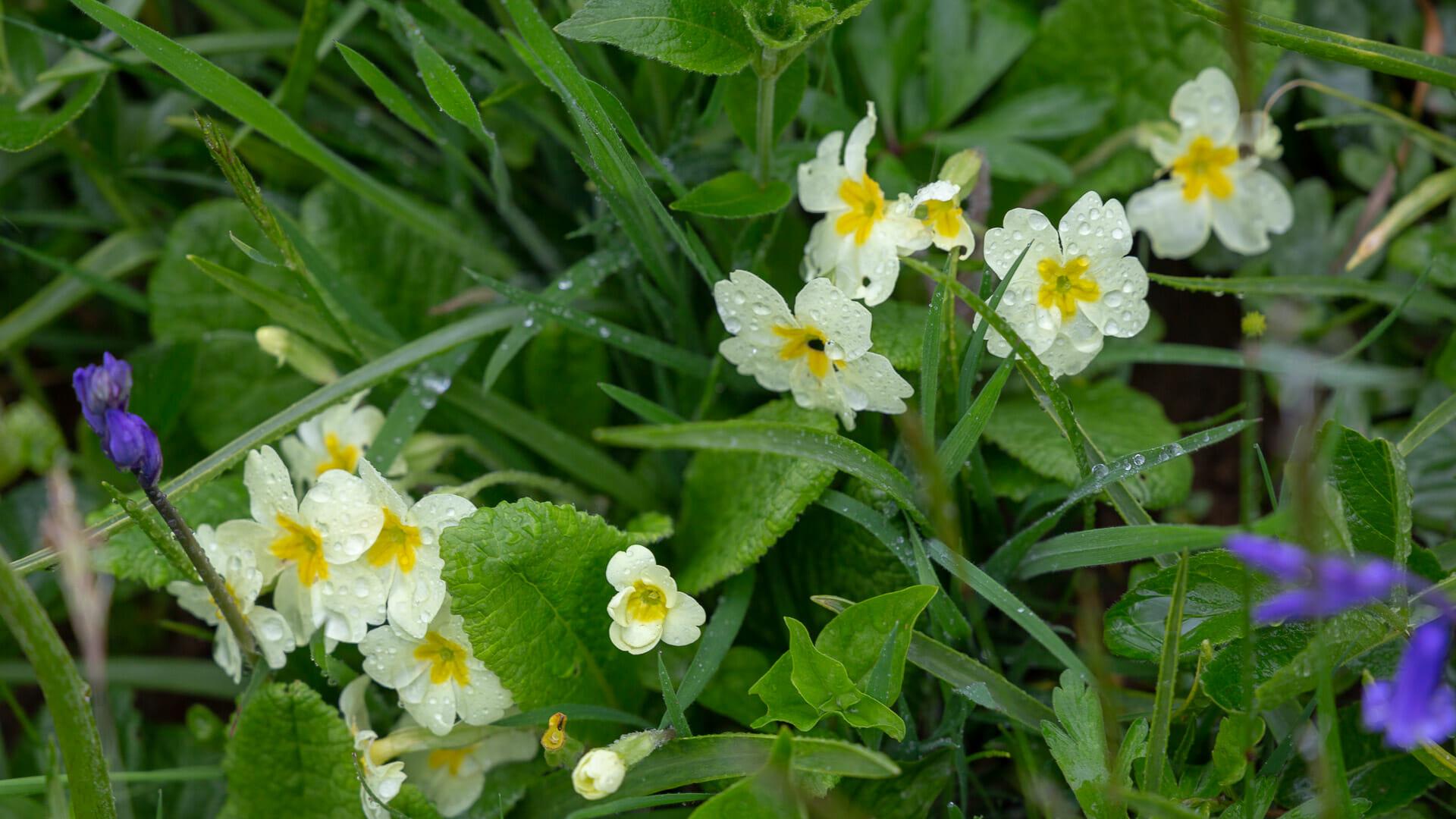 Regen auf einer Blume im Taynish Wald