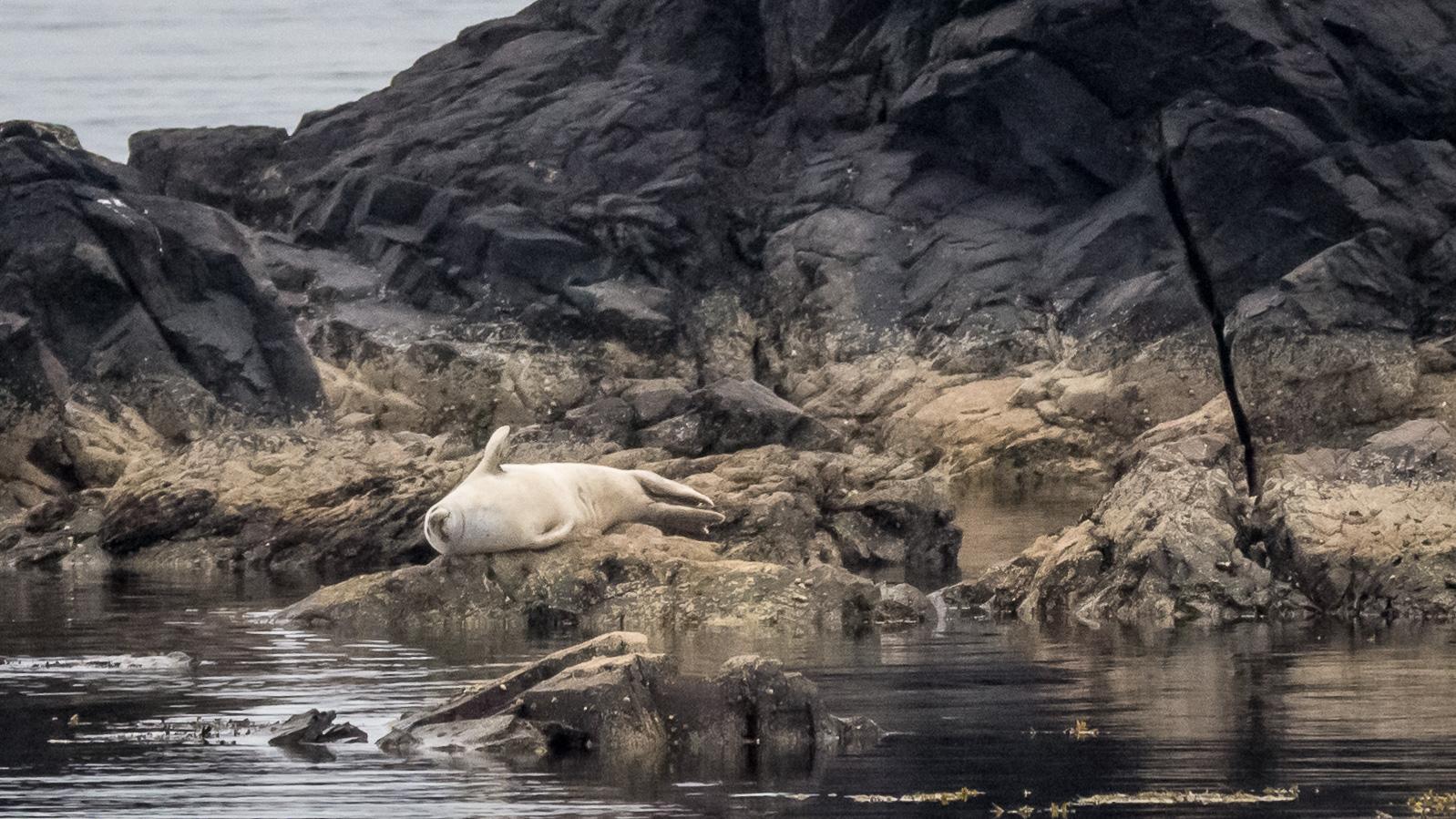 Seehund bei Lagavulin