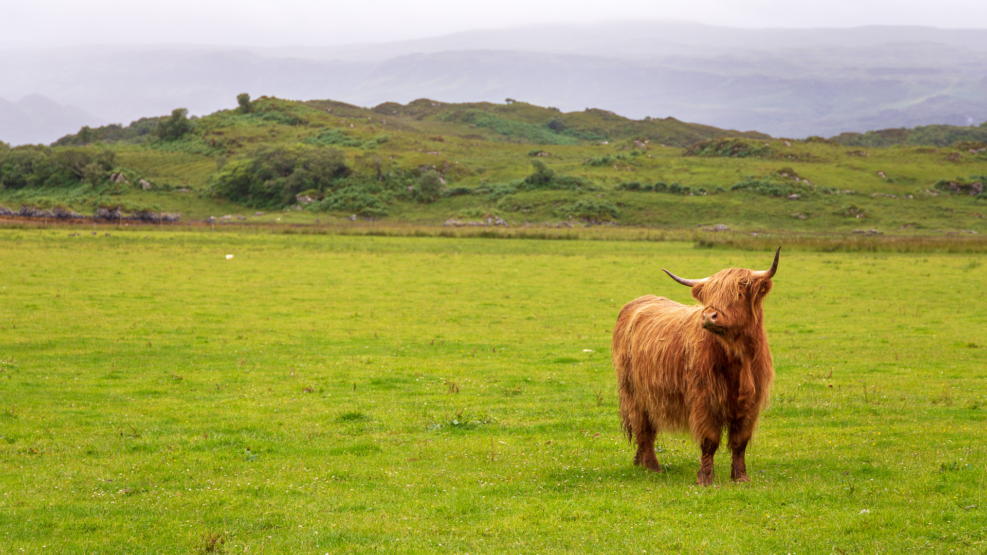 Highland-Rind in Ardnamurchan