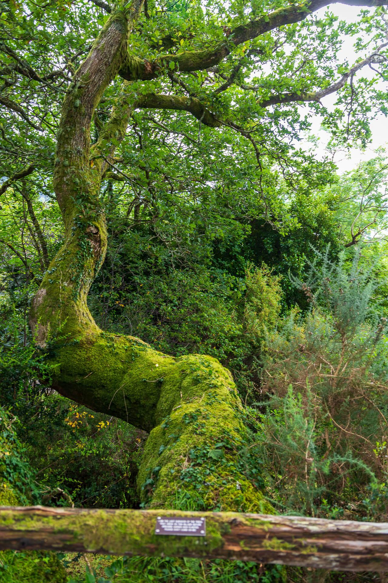 Die älteste Eiche in Arduaine Garden